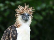 Águia filipino Foto de Stock