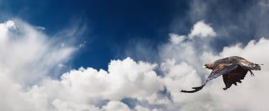 Águia Flaying Imagens de Stock