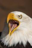 Águia gritando Foto de Stock Royalty Free