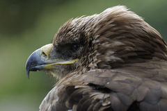 Águia imperial (heliaca de Aquila) imagem de stock