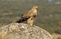 águia imperial na rocha Fotos de Stock