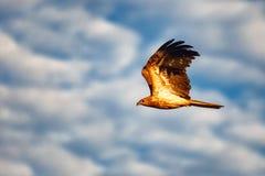 Águia larga australiana da cauda Foto de Stock Royalty Free