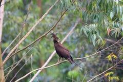 águia Longo-com crista Fotos de Stock