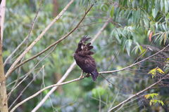 águia Longo-com crista Fotografia de Stock