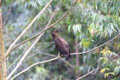 águia Longo-com crista Foto de Stock