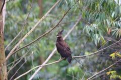 águia Longo-com crista Imagem de Stock