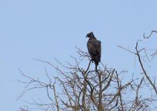 águia Longo-com crista em África fotografia de stock