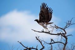Águia marcial (bellicosus de Polemaetus) Fotos de Stock