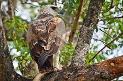 Águia marcial (bellicosus de Polemaetus) imagens de stock