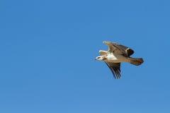Águia marcial majestosa juvenil que voa a um ninho em Kalahar azul imagem de stock royalty free