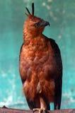 A águia marrom que está com um pé Fotografia de Stock Royalty Free