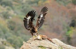 a águia nova alimenta em uma raposa foto de stock royalty free