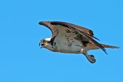 Águia pescadora Fotografia de Stock Royalty Free