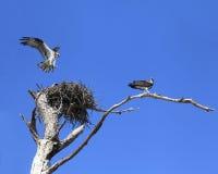 A águia pescadora aterra no ninho porque é Mate Stands Guard Fotografia de Stock