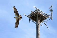 A águia pescadora bonita com asas espalhou moscas largas fora de seu ninho Fotografia de Stock Royalty Free