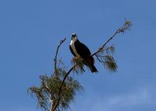 Águia pescadora de Florida Imagens de Stock Royalty Free
