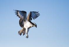 Águia pescadora do voo Foto de Stock Royalty Free