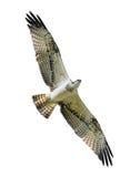 Águia pescadora em voo. Fotografia de Stock