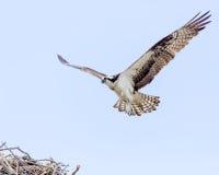 Águia pescadora em voo foto de stock royalty free