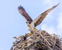 Águia pescadora em voo imagens de stock royalty free