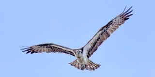 Águia pescadora em voo fotos de stock