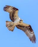 Águia pescadora em voo foto de stock