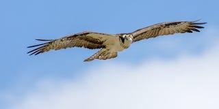 Águia pescadora em voo imagem de stock
