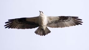 Águia pescadora em voo fotografia de stock royalty free