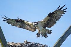 Águia pescadora em voo com varas foto de stock