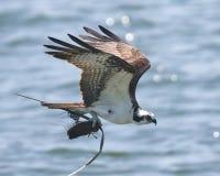 Águia pescadora em voo que leva o material para o ninho Fotografia de Stock