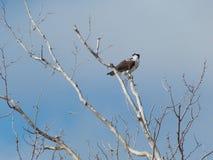 Águia pescadora empoleirada na árvore Leafless Fotos de Stock Royalty Free