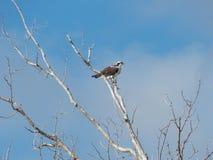 Águia pescadora empoleirada na árvore Leafless II Fotos de Stock Royalty Free