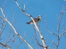 Águia pescadora empoleirada na árvore Leafless II Fotos de Stock