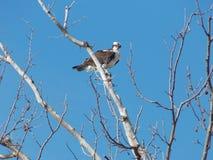 Águia pescadora empoleirada na árvore Leafless IV Foto de Stock Royalty Free