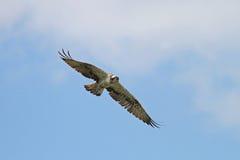Águia pescadora, haliaetus do Pandion Foto de Stock