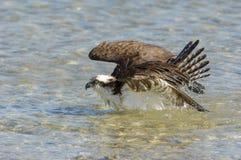 Águia pescadora, (haliaetus do Pandion) Foto de Stock Royalty Free