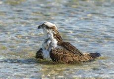 Águia pescadora, (haliaetus do Pandion) imagens de stock royalty free