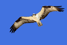 Águia pescadora majestosa Imagens de Stock Royalty Free