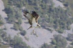 águia pescadora masculina que alimenta em peixes e no mergulho imagem de stock