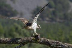 águia pescadora masculina que alimenta em peixes e no mergulho fotografia de stock