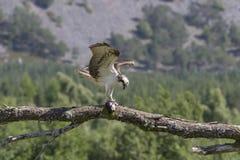águia pescadora masculina que alimenta em peixes e no mergulho foto de stock royalty free