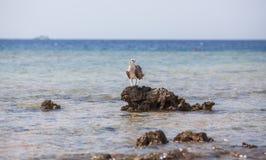 Águia pescadora na rocha Fotos de Stock Royalty Free