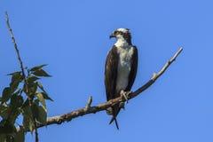 A águia pescadora no ramo olha ao lado Fotos de Stock