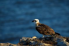 Águia pescadora ocidental Foto de Stock