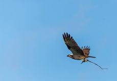 Águia pescadora que recolhe varas Foto de Stock Royalty Free