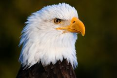Águia portrait1 Imagens de Stock Royalty Free