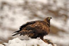 a águia protege seu território com uma rapina entre garras Fotos de Stock Royalty Free