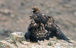 A águia real adulta levanta com sua rapina na rocha fotografia de stock