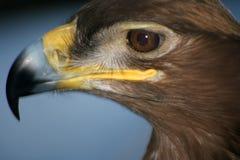 A águia #5 Rei do reino do pássaro imagem de stock