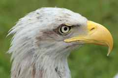 Águia selvagem americana Imagem de Stock Royalty Free